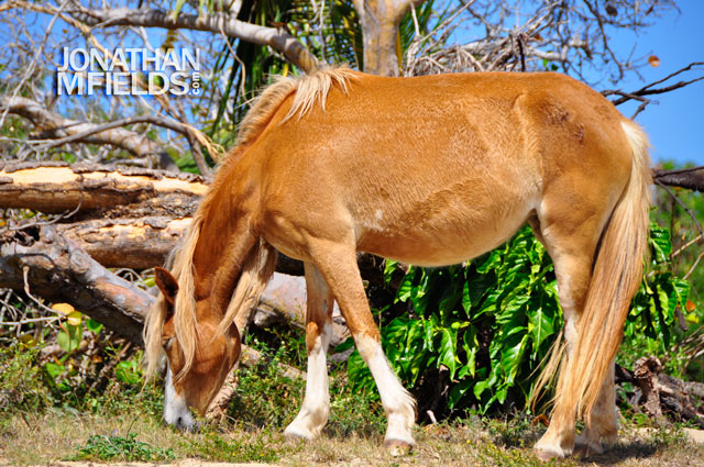 vieques-horse