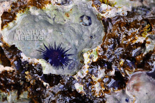 vieques-sea-urchin