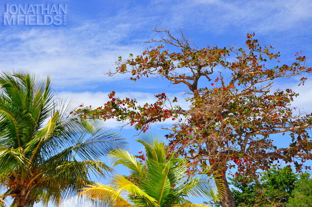 vieques-tree-red